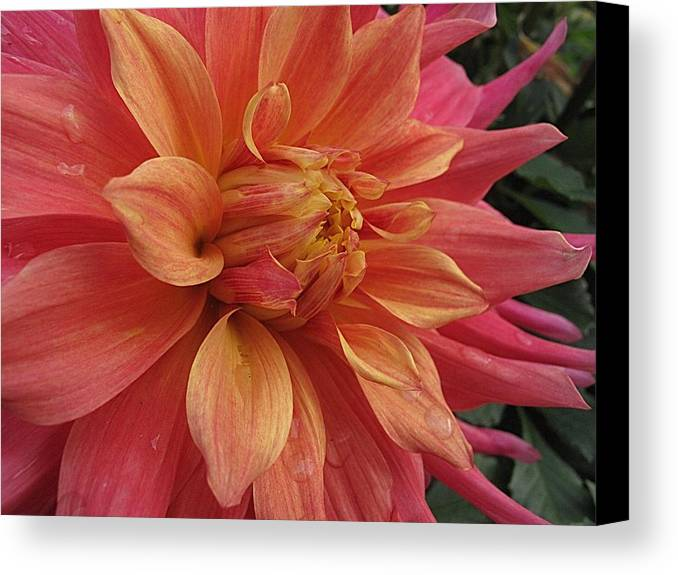 Dahlia Canvas Print featuring the photograph Orange Blossom Special by Monnie Ryan