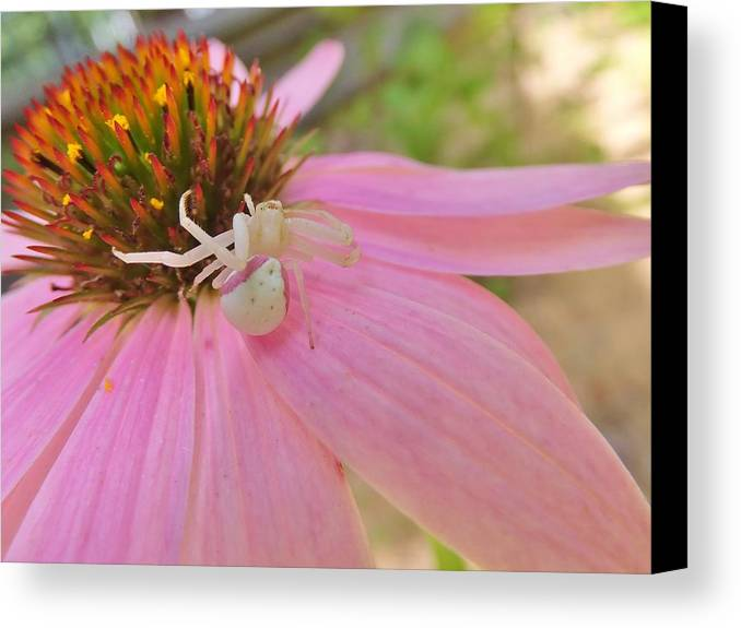 Purple Coneflower Canvas Print featuring the photograph Purple Coneflower With Crab Spider by Kathryn Lund Johnson