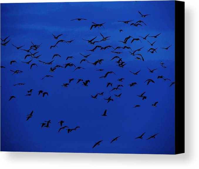 Birds In Flight At Night Canvas Print featuring the photograph Red Eye Flight by Todd Sherlock