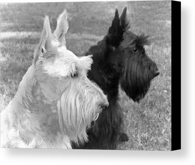 Scottish Terrier Canvas Print featuring the photograph Scottish Terrier Dogs Black And White by Jennie Marie Schell