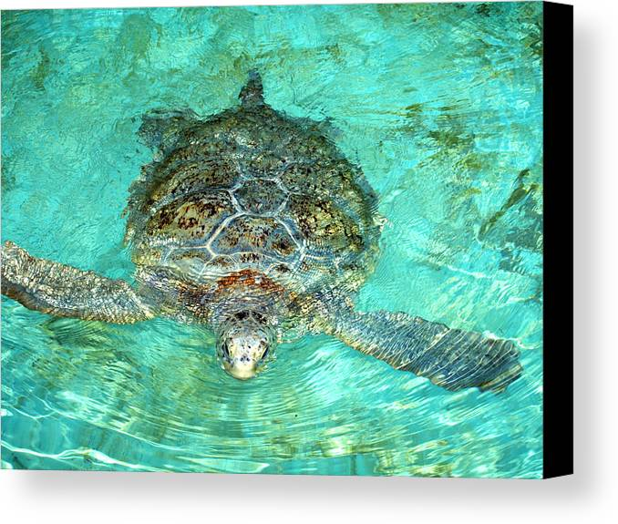 Turtle Canvas Print featuring the photograph Single Sea Turtle Swimming Through The Water by Jessica Foster