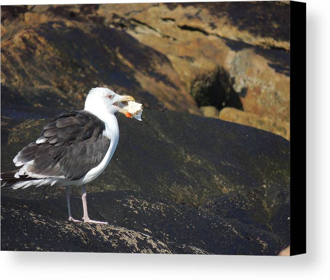 Seagull Canvas Print featuring the photograph Seagull Snacking by Anastasia Konn