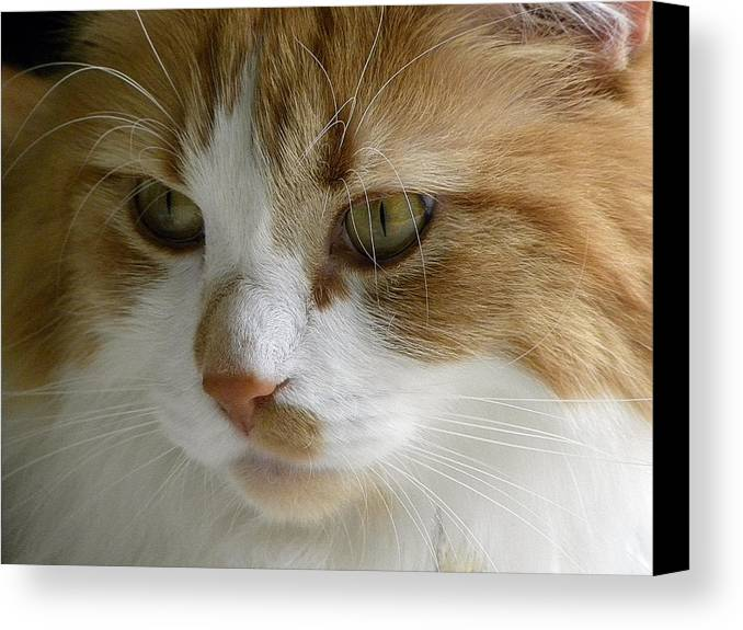 Maine Canvas Print featuring the photograph Serious Gato 3 by Julie Palencia