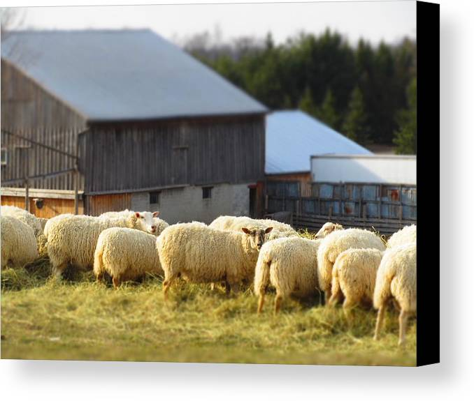 Farm Animals Canvas Print featuring the photograph Sheep by Frideswide Photographycom
