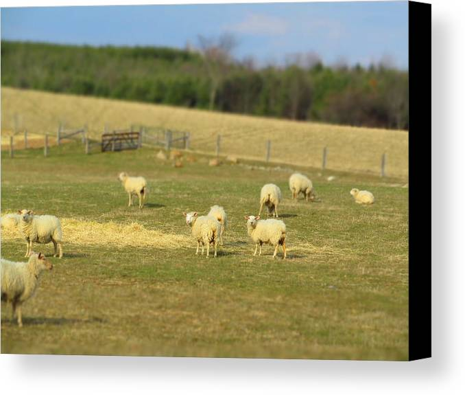 Sheep Canvas Print featuring the photograph Sheep Out And About by Frideswide Photographycom