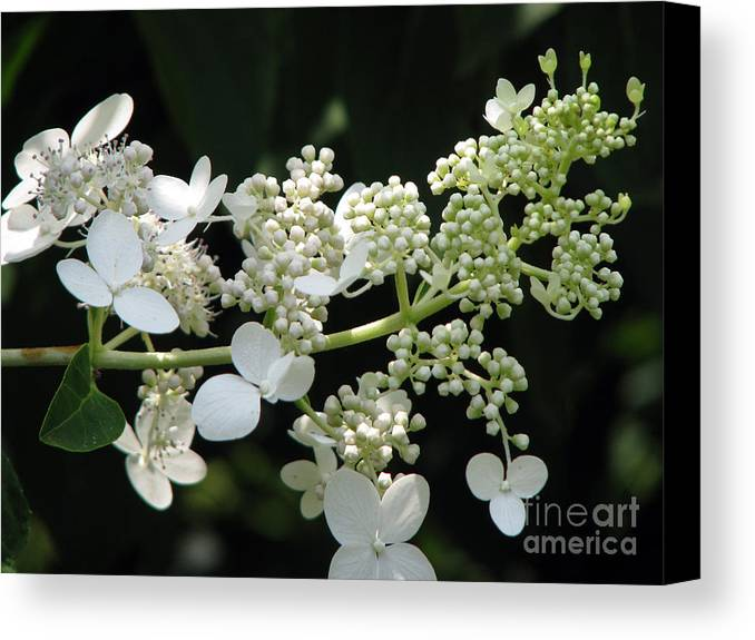 Hydrangea Canvas Print featuring the photograph Simply by Amanda Barcon