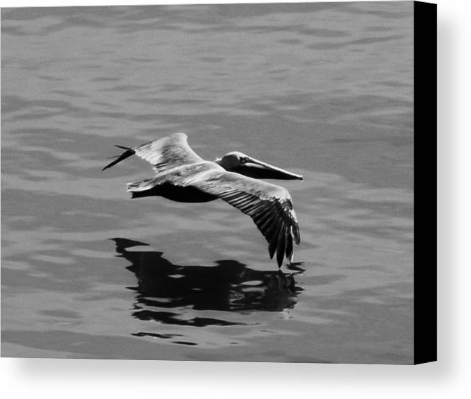 Pelican Canvas Print featuring the photograph Skimmin' by Julie Hughes