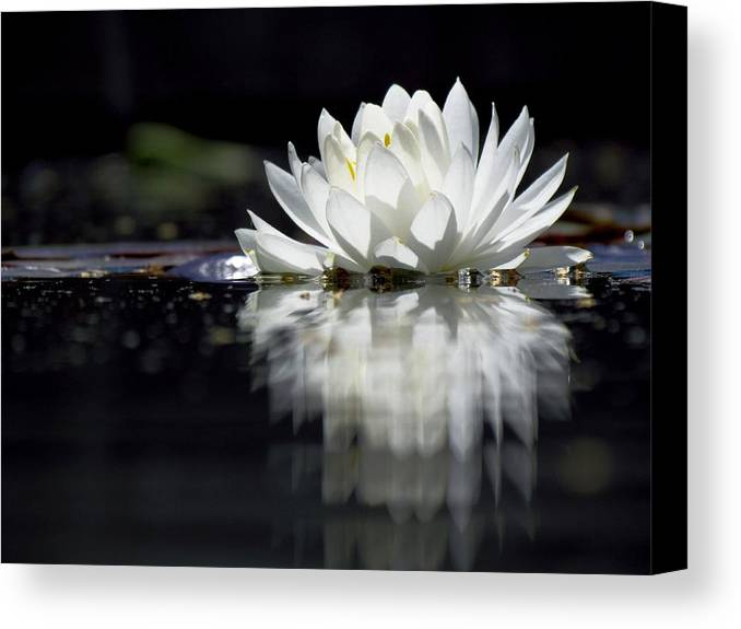 Aquatic Plants Canvas Print featuring the photograph Solitude by Carol Montoya