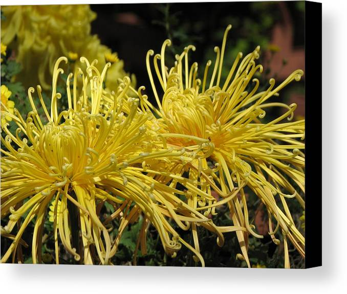 Spider Mums Canvas Print featuring the photograph Spider Mums Maybe 1 by Helaine Cummins
