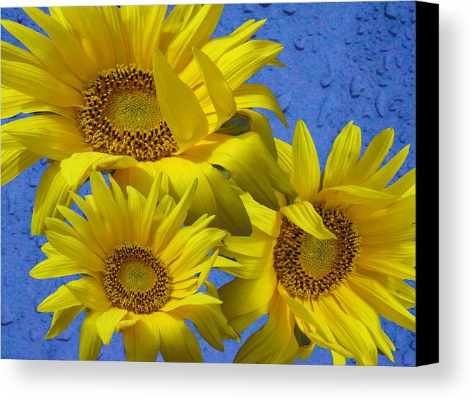 Note Card Canvas Print featuring the photograph Sunflower Trio by Barbara McDevitt