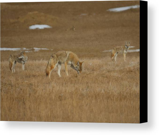 The Coyote Canvas Print featuring the digital art The Coyotes Painterly by Ernie Echols