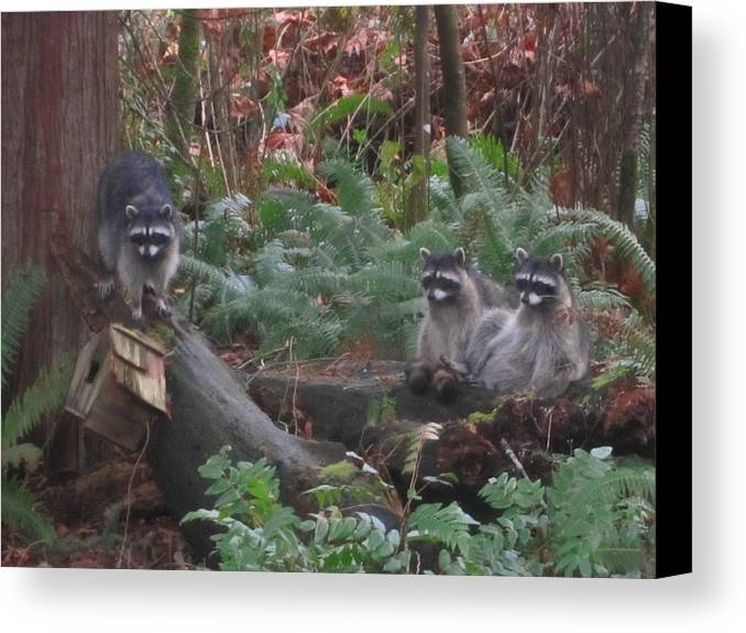 Racoons In The Woods Canvas Print featuring the photograph Three Is A Crowd by Kym Backland