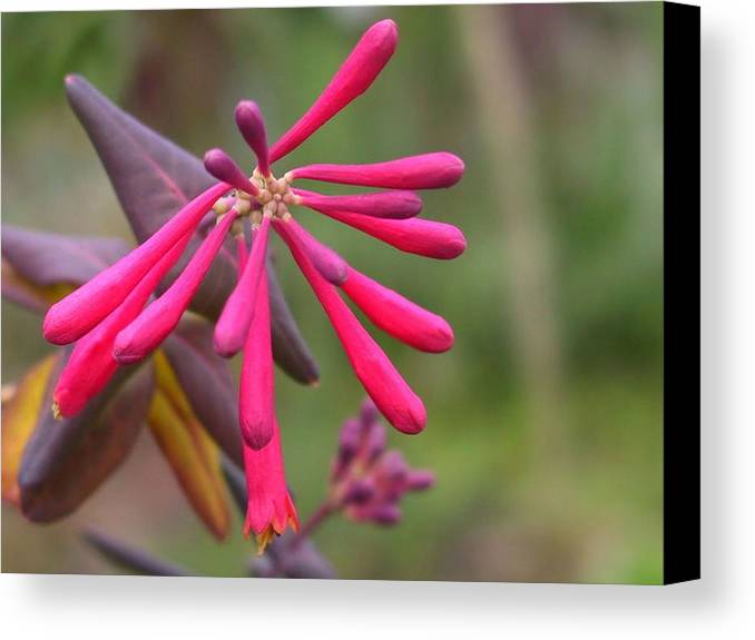 Flower Canvas Print featuring the photograph Trumpet Honeysuckle Buds Of Coral Woodbine by Taiche Acrylic Art