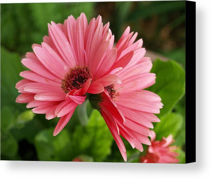 Susan Canvas Print featuring the photograph Twin Gerber Daisies by Susan Crossman Buscho