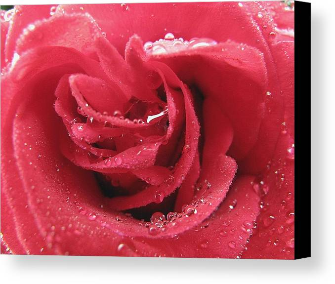 Rose Canvas Print featuring the photograph Veteran's Honor Rose by Debra Boyle
