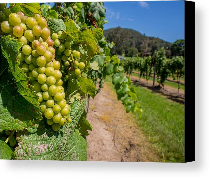 Vineyard Canvas Print featuring the photograph Vineyard Grapes by Kaleidoscopik Photography