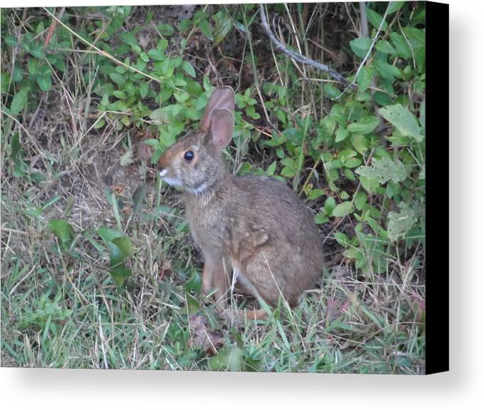 Rabbit Bunny Hare Animal Prey Nature Fauna Cute Brush Foliage Critter Ears Canvas Print featuring the photograph Wary Wabbit by James Potts