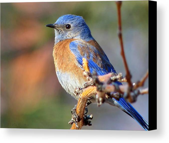Animal Canvas Print featuring the photograph Western Bluebird Profile by Ron D Johnson