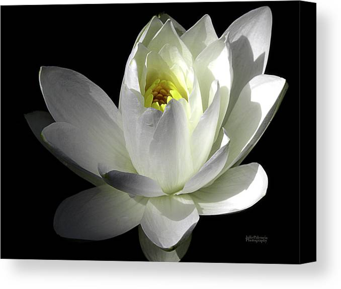 Water Lily Canvas Print featuring the photograph White Petals Aquatic Bloom by Julie Palencia