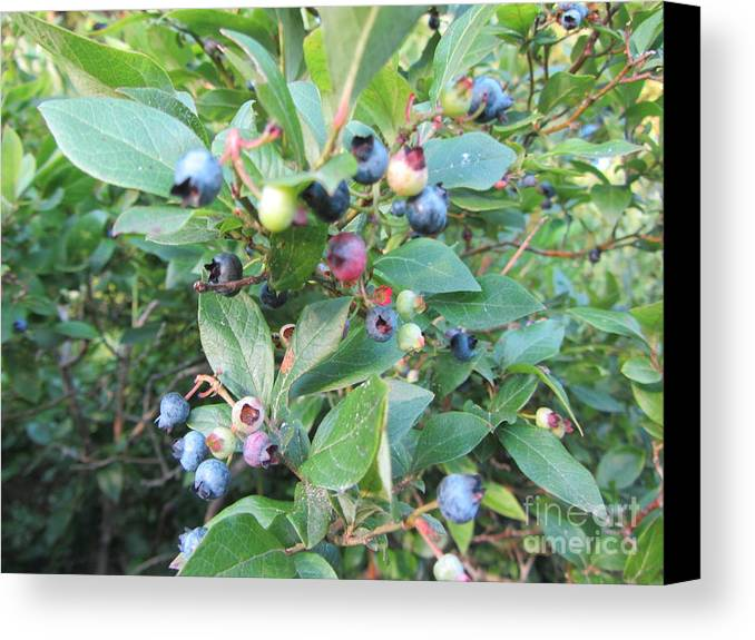 Blueberry Canvas Print featuring the photograph Wild Blueberry Bush by Susan Carella