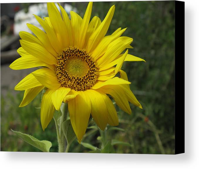 Sunflower Canvas Print featuring the photograph Windblown Sunflower Two by Barbara McDevitt
