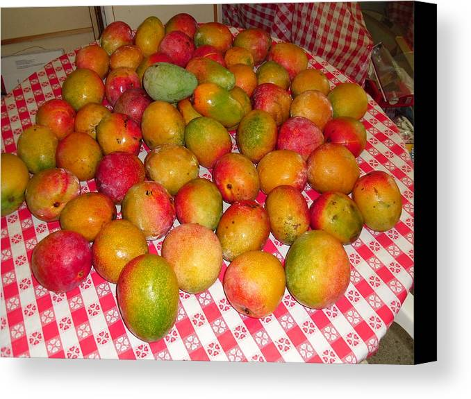 Photograph Canvas Print featuring the photograph  Just Picked Florida Mangoes by Trudy Brodkin Storace