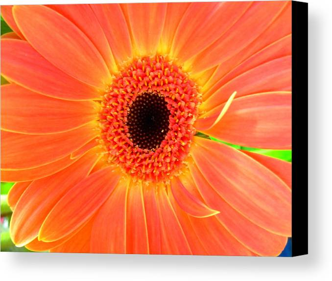 Gerbera Photographs Canvas Print featuring the photograph 2157-001 by Kimberlie Gerner