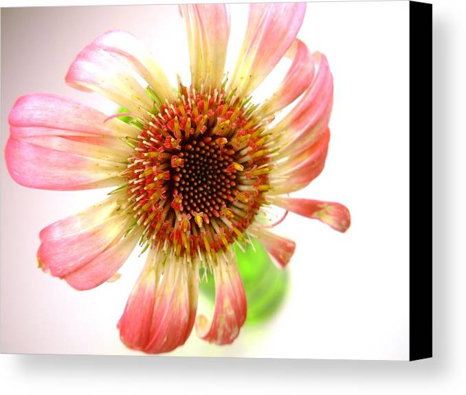 Gerbera Photographs Canvas Print featuring the photograph 2269c-001 by Kimberlie Gerner