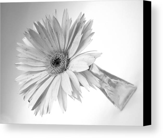 Gerbera Photographs Canvas Print featuring the photograph 5495c3 by Kimberlie Gerner