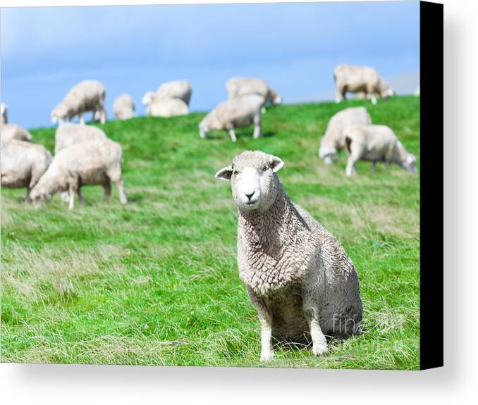 Sheep Canvas Print featuring the photograph Sheeps by MotHaiBaPhoto Prints