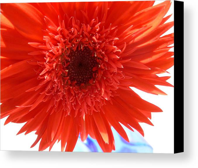 Gerbera Photographs Canvas Print featuring the photograph 6283 by Kimberlie Gerner