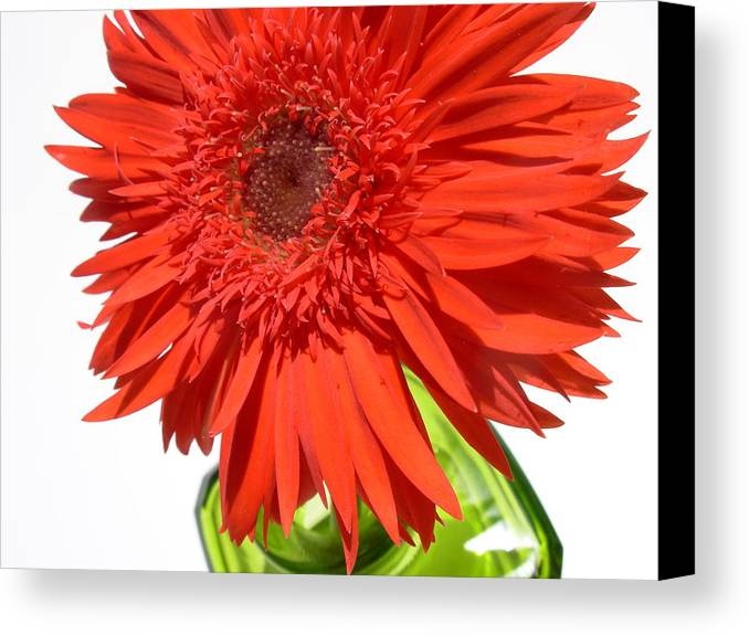 Gerbera Photographs Canvas Print featuring the photograph 6311 by Kimberlie Gerner