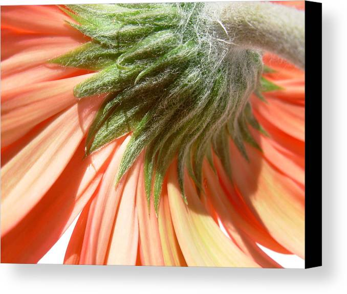 Gerbera Photographs Canvas Print featuring the photograph 6317 by Kimberlie Gerner