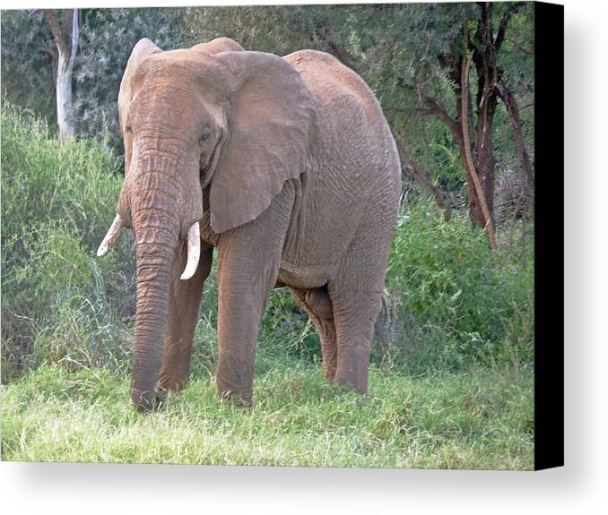 African Elephant Canvas Print featuring the photograph African Elephant by Tony Murtagh