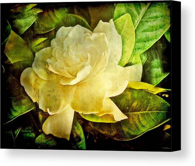 Gardenia Canvas Print featuring the photograph Antique Gardenia Blossom by Mother Nature