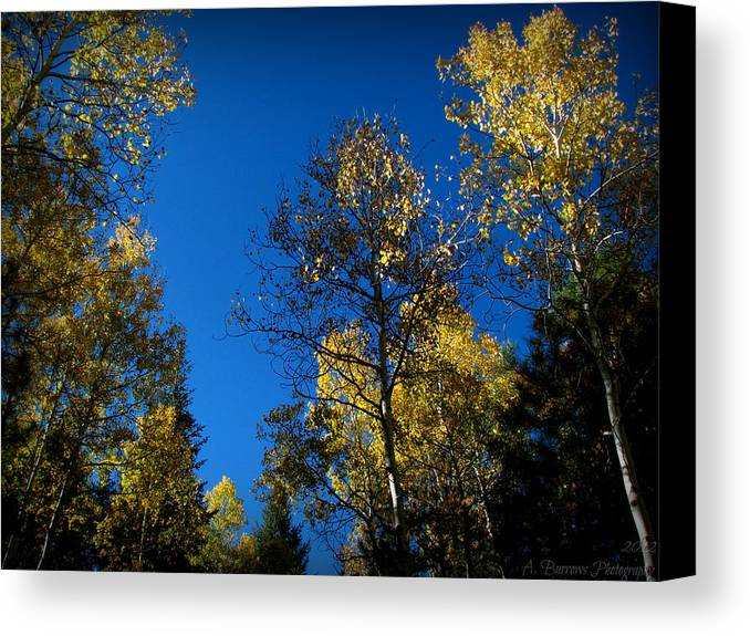 Bradshaw Mountains Canvas Print featuring the photograph Bradshaw Autumn Aspen Canopies by Aaron Burrows