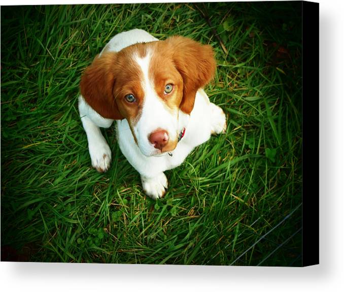Horizontal Canvas Print featuring the photograph Brittany Spaniel Puppy by Meredith Winn Photography