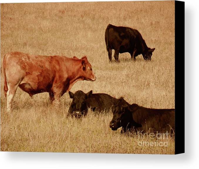 Cows Canvas Print featuring the photograph Cows by Methune Hively