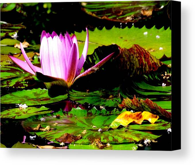 A Beautiful Pink Water Lilly Budding Amoung Colorful Lillypads In A Pond. Truly Spectacular. Canvas Print featuring the photograph Dancing Pink Water Lilly by Jodi Terracina