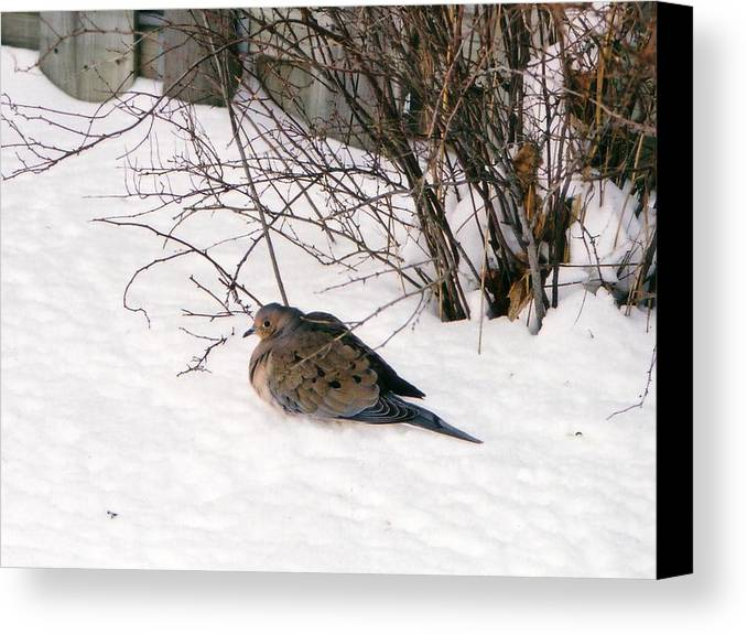 Bird Canvas Print featuring the photograph Dove In The Snow by Corinne Elizabeth Cowherd