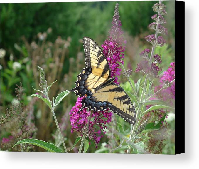 Eastern Tiger Swallowtail Canvas Print featuring the photograph Eastern Tiger Swallowtail by Richard Reeve