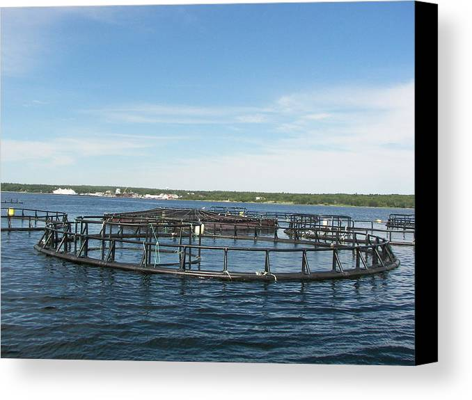 Fish Canvas Print featuring the photograph Fish Farming by Daryl Macintyre