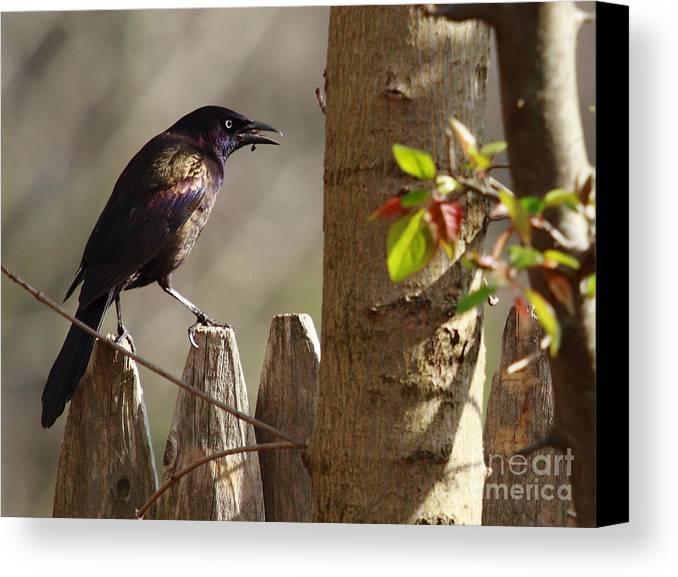 Bird Portrait Canvas Print featuring the photograph Grackle by Linda C Johnson