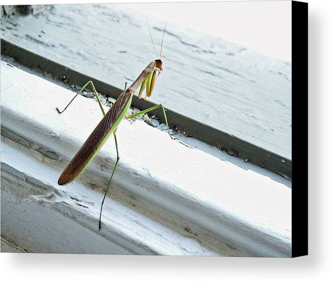 Mantid Canvas Print featuring the photograph Heading Out by Lisa Phillips