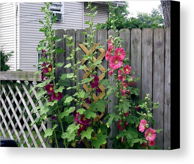 Hollyhocks And Garden Fence Canvas Print featuring the photograph Hollyhocks by Jody Prater