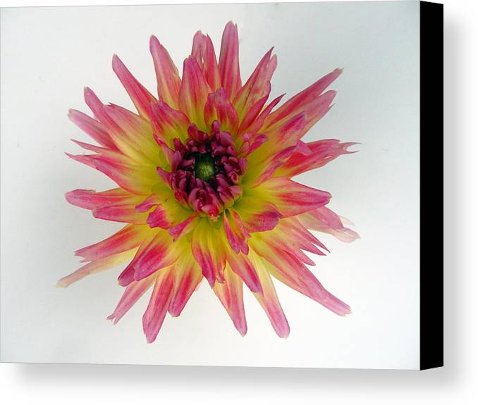 Dahlia Canvas Print featuring the photograph Hybrid Dahlia by Louis Calvano