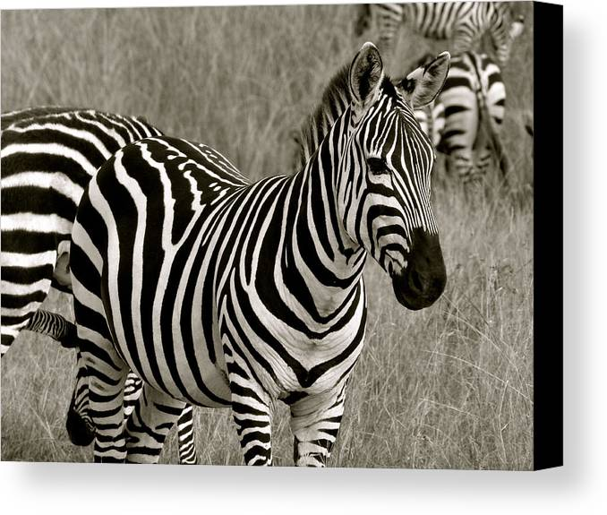 Zebra Canvas Print featuring the photograph I See Stripes by Robert Joseph