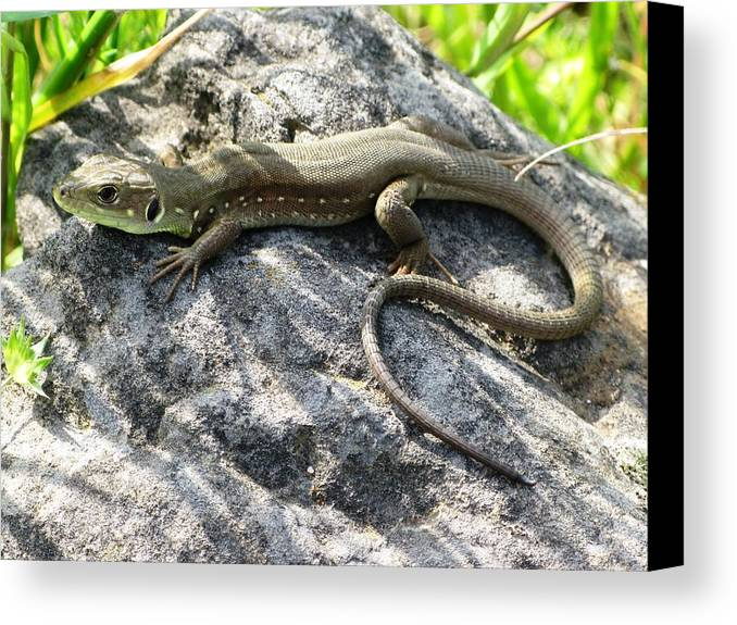 Lizard Canvas Print featuring the photograph Lizard by Andonis Katanos