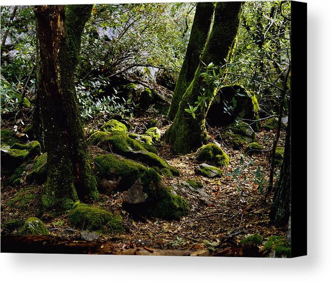 Lush Canvas Print featuring the photograph Moss On Trees Yosemite by John Wolf