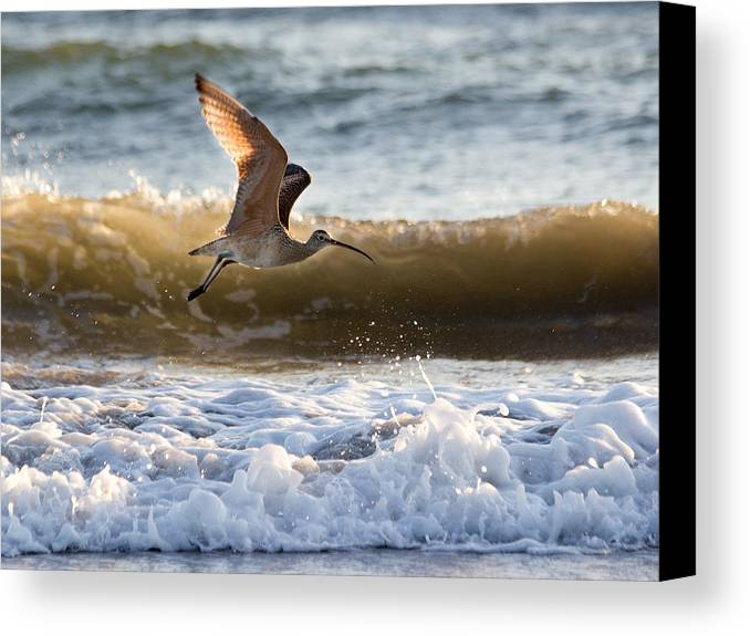 Sand Poper Canvas Print featuring the photograph Mr. Piper by Kittysolo Photography